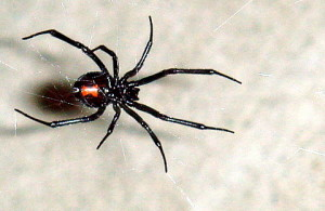 Western black widow (fot. Wikipedia)